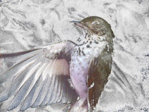 snow numbed thrush by Robyn Beattie