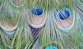 Robyn Beattie Peacock Tail