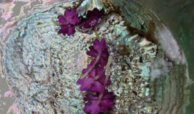 Abalone Blossoms Robyn Beattie